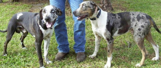 catahoula leopard cur dogs
