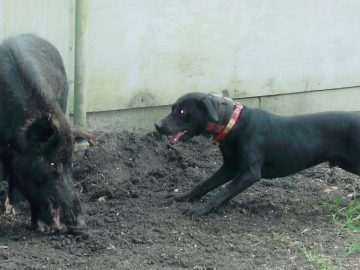 Catahoula dogs baying wild boar hog in training arena
