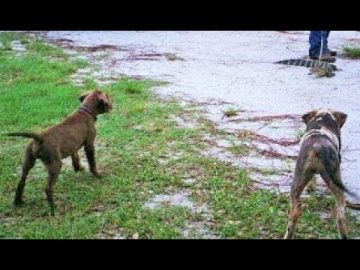 Pack of catahoula dogs catch and kill alligator